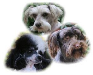 Schnoodles | Schnoodle Puppies For Sale | Dominoschnoodles
